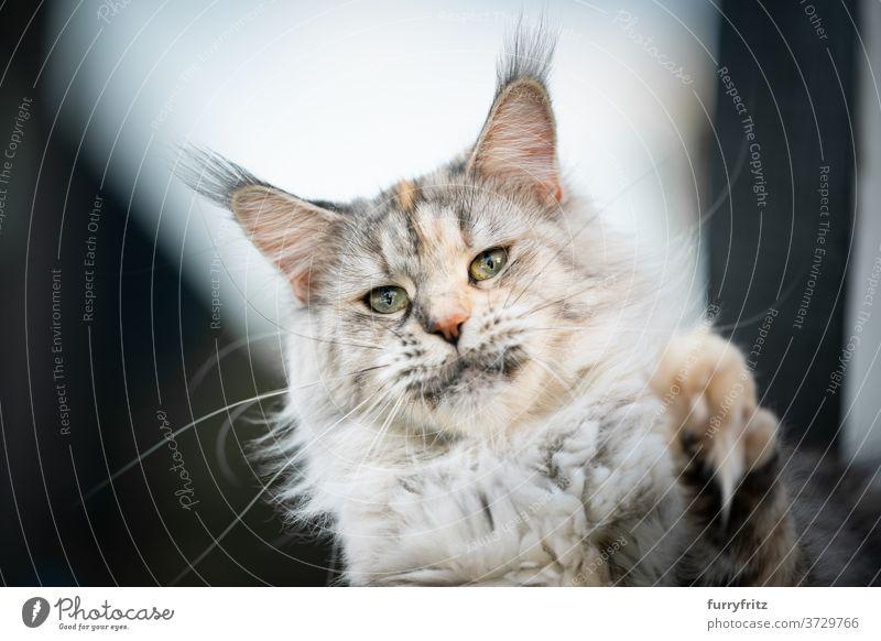Maine Coon Katze spielen Erhöhung Pfote maine coon katze Langhaarige Katze Rassekatze Haustiere im Freien Fell katzenhaft fluffig Kätzchen niedlich bezaubernd