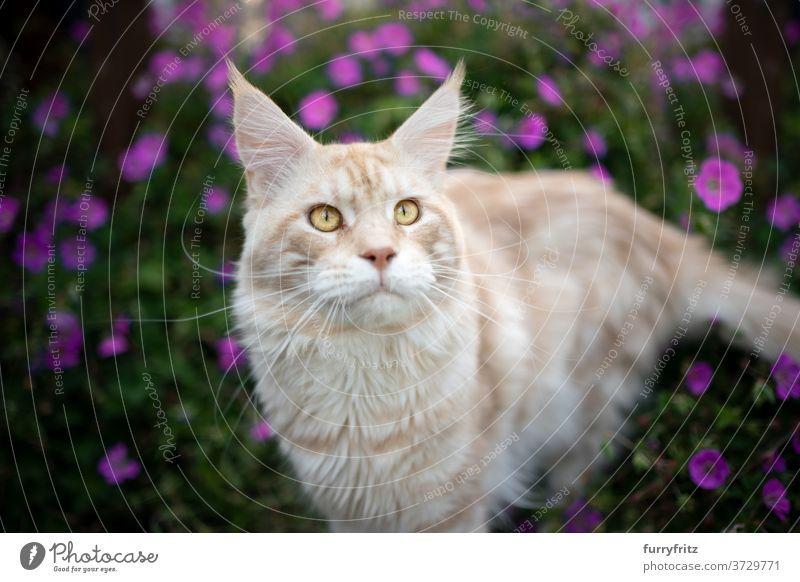 maine coon Katze Porträt im Freien maine coon katze Langhaarige Katze Rassekatze Haustiere Vorder- oder Hinterhof Garten grün Natur Blume Blütezeit Pflanzen