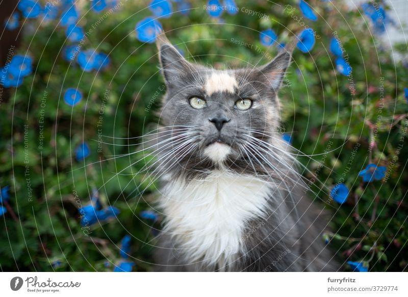 maine coon Katze Porträt mit Blumen maine coon katze Langhaarige Katze Rassekatze Haustiere torbie blau im Freien Vorder- oder Hinterhof Garten grün Natur