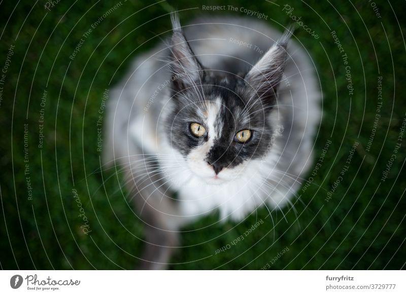 Maine Coon Kätzchen auf Rasen Katze maine coon katze Langhaarige Katze Rassekatze Haustiere torbie weiß im Freien Vorder- oder Hinterhof Garten grün Natur Wiese