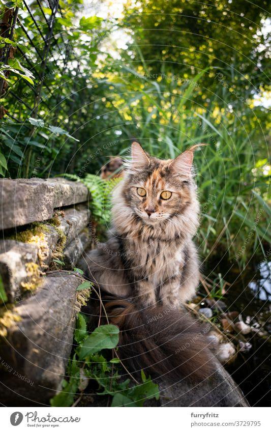Maine Waschbär Katze neben dem Teich maine coon katze Langhaarige Katze Rassekatze Haustiere Schildpattkatze Kattun im Freien Vorder- oder Hinterhof Garten grün