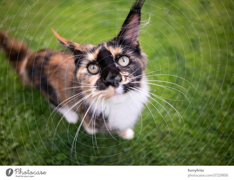 Kaliko Maine Coon Kätzchen Porträt Katze maine coon katze Langhaarige Katze Rassekatze Haustiere Kattun Schildpattkatze im Freien Vorder- oder Hinterhof Garten
