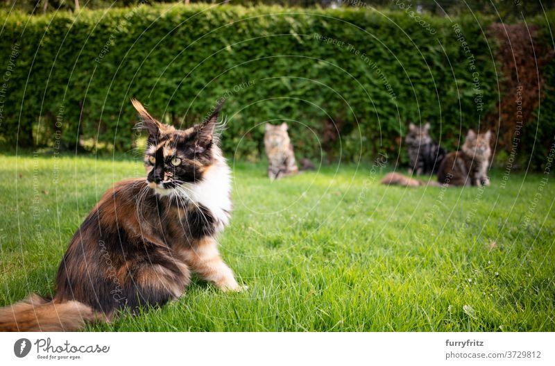 Gruppe von Maine Coon Katzen im Garten maine coon katze Langhaarige Katze Rassekatze Haustiere Kattun Schildpattkatze im Freien Vorder- oder Hinterhof grün