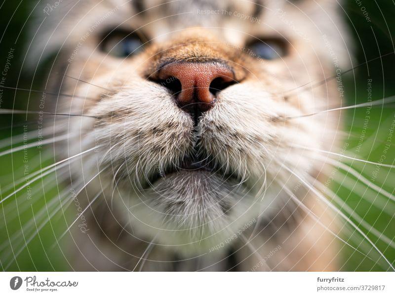 maine coon cat Mund und Nase Katze maine coon katze Langhaarige Katze Rassekatze Haustiere Tabby im Freien Vorder- oder Hinterhof Garten grün Natur Fell
