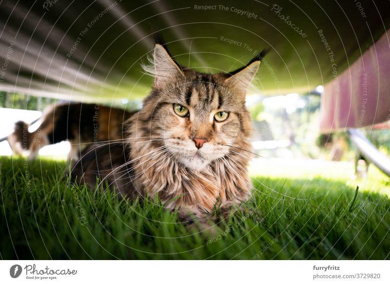 Katze unter Liegestuhl ruhend maine coon katze Langhaarige Katze Rassekatze Haustiere Tabby im Freien Vorder- oder Hinterhof Garten grün Rasen Wiese Gras Fell