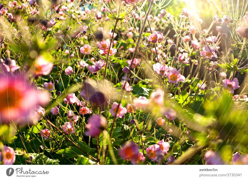 Herbstanemonen blume blühen blüte erholung ferien garten kleingarten kleingartenkolonie menschenleer natur pflanze ruhe schrebergarten sommer strauch