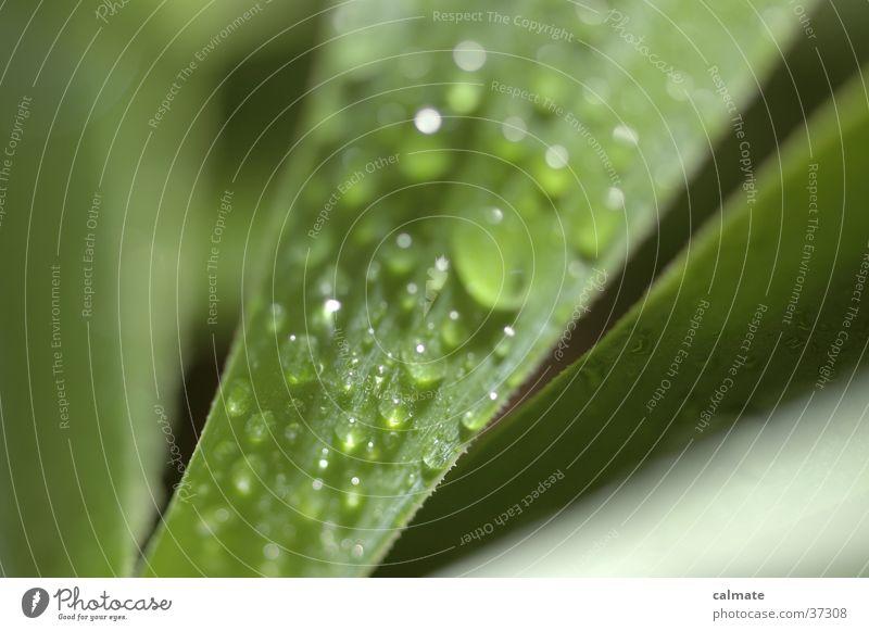 yukka #3 grün Wassertropfen nass Agave Yucca