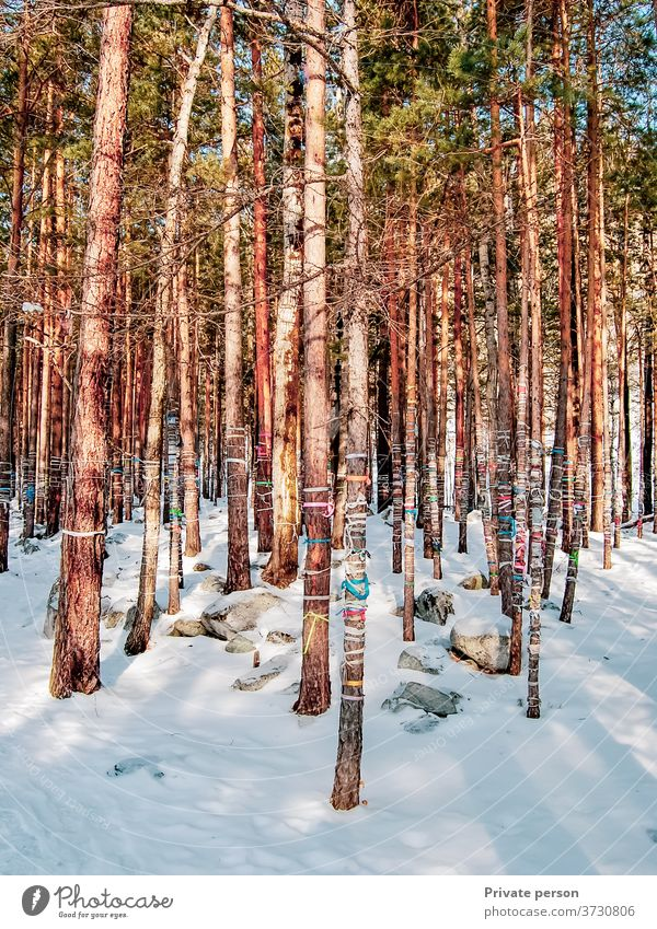 Brauch, farbige Seile an Bäume zu binden, um Wünsche zu erfüllen Wald keine Menschen Winter im Freien Schneefall Kiefer pinaceae Weihnachten