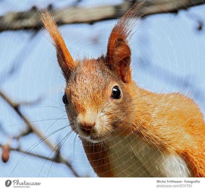 Neugierig schauendes Eichhörnchen Sciurus vulgaris Tiergesicht Kopf Auge Maul Nase Ohr Fell Wildtier Natur beobachten Blick Blick nach vorn Blick in die Kamera