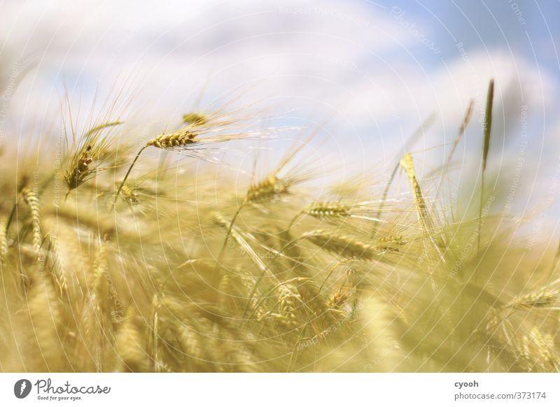 Wind in den Feldern Himmel Natur blau Sommer Pflanze Wolken gelb Wärme Bewegung Gesundheit hell gold wild Zufriedenheit