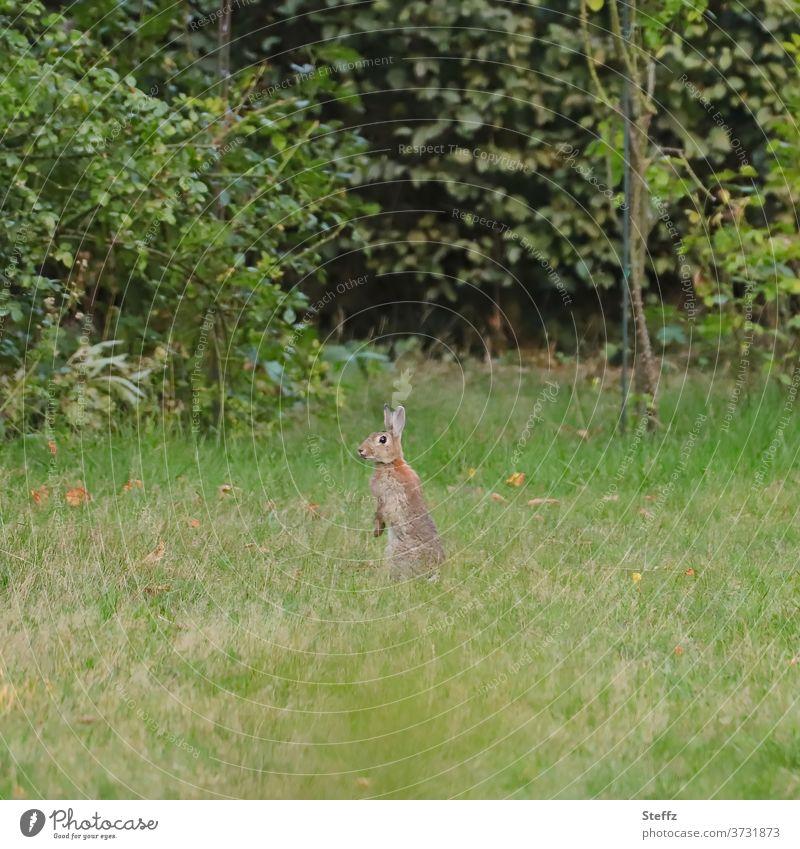Wildkaninchen bekommt Überblick Kaninchen Überblick verschaffen Hase & Kaninchen Wildtier überblicken ausschau halten beobachten schauen Osterhase prüfen