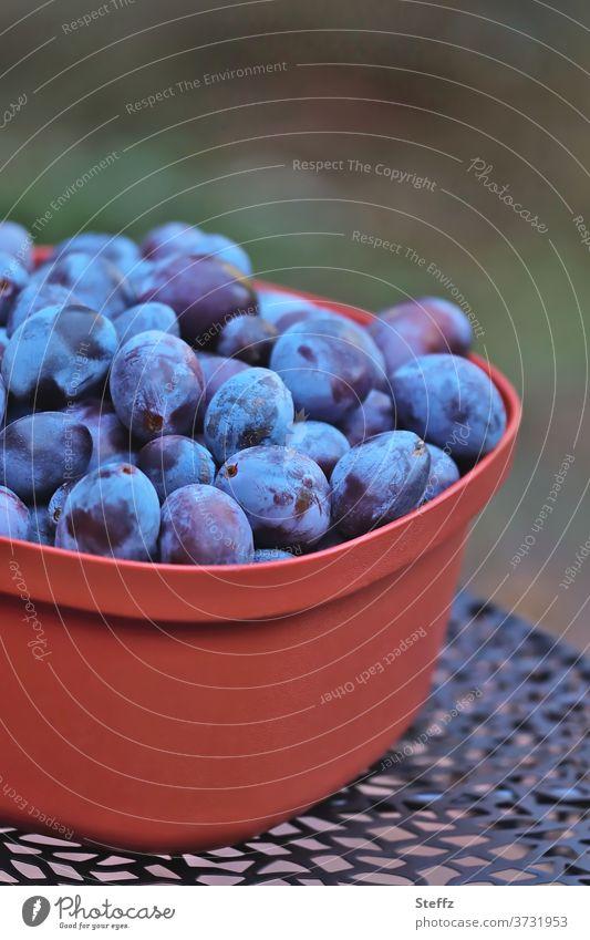 Vorfreude | Zwetschgen zum Abnehmen Pflaumen Obst Früchte lecker Bio Lebensmittel Obsternte Gartenobst Sommerobst genießen Diät bio frisches obst unbehandelt