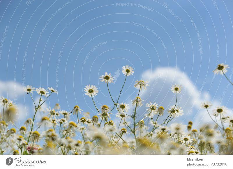 Kamille kamille bl Blume Pflanze gelb Natur Sommer weiß Blüte Heilpflanzen Menschenleer Außenaufnahme schön Blühend Frühling Wiese Duft Tag grün Umwelt
