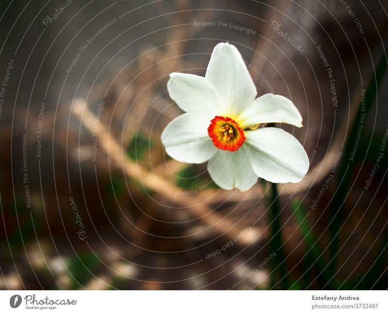 Weiße Blüte mit intensiv orangefarbener Mitte. Nahaufnahme Blume Natur Frühling weiß grün Blütezeit Hintergrund Blütenblatt schön gelb Pflanze natürlich
