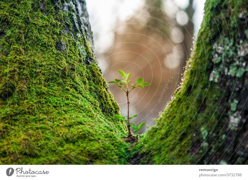 Junger Baumsetzling, der an einem anderen Baum wächst. Neues Leben. Konzept der Wiedergeburt. Rumänien Valiug Botanik Ökologie Umwelt Wald grün wachsen Wachstum