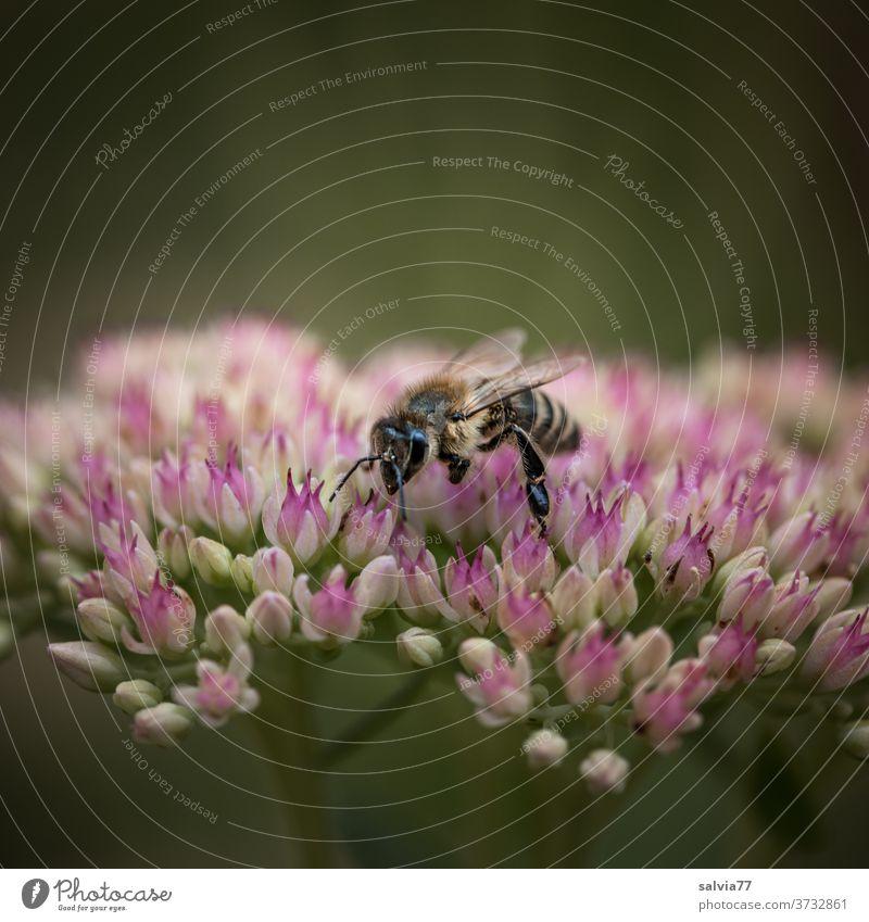 Bienennahrung für den Herbst Honigbiene Fetthenne Blume Staue Blüte Sedum telephium Pflanze Natur Insekt Makroaufnahme Garten hohe Fetthenne Blühend fleißig