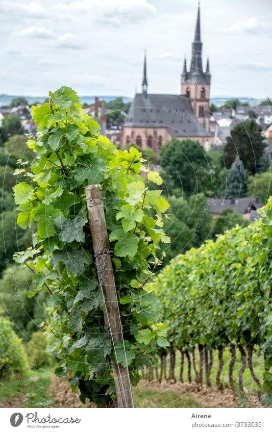 Nahrung für Körper und Seele Wein Pflanze Weinbau Weinberg Winzer Landwirtschaft Weintrauben hellgrün lichtvoll Lebensfreude Kirche Dorf Weinstock Frucht
