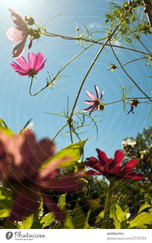 Cosmos bipinnatus blume blühen blüte erholung ferien garten himmel kleingarten kleingartenkolonie menschenleer natur pflanze ruhe schrebergarten sommer strauch