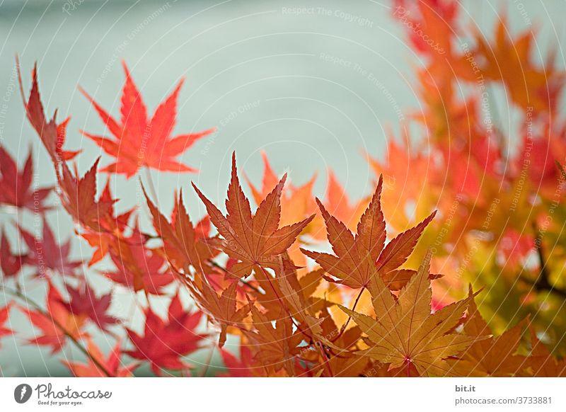 Natur & Architektur l Herbstlaub vor Mauer herbstlich Herbstfärbung Herbstbeginn Blätter Blätterdach Blatt Indian Summer Altweibersommer leuchten