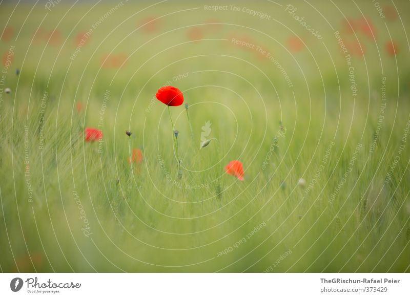 Mohn Natur grün Pflanze rot Ferne Umwelt gelb Feld ästhetisch Korn Kornfeld beruhigend Mohnfeld Stimmungsbild Mohnkapsel