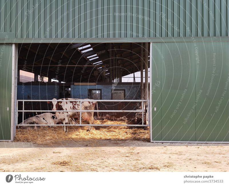 Kuh steht in Stall Nutztier Landwirtschaft Bauernhof Außenaufnahme Rind Tier Farbfoto Menschenleer Tag Rinderhaltung Milchkuh Viehzucht
