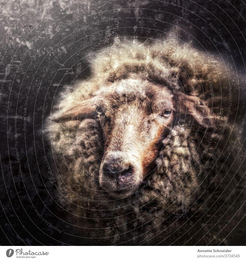 Schaf Vintage Tier Wolle Natur Außenaufnahme Säugetier Fell Nutztier Tierporträt