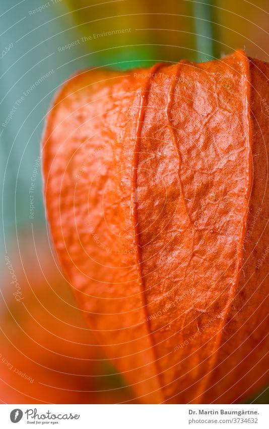 Physalis alkekengi, Blasenkirsche oder Judenkirsche Lampionblume Frucht Solanaceae ausdauernd Staude Nachschattengewächse orange-farbig