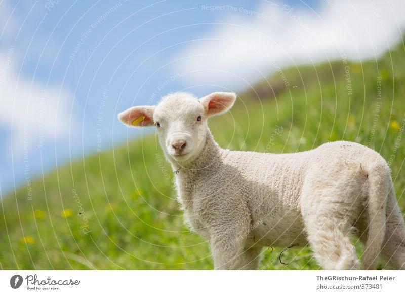 shaun the sheep Natur Landschaft Himmel Tier Nutztier 1 Tierjunges blau gelb gold grün weiß Schaf Lamm Schwanz Ohr Wiese Himmel (Jenseits) frech vierbeiner