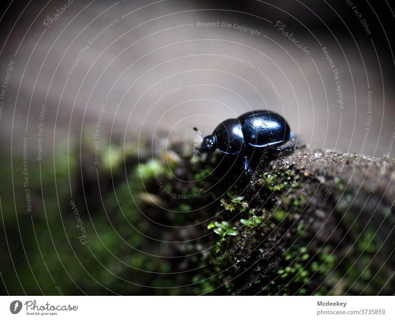 einsamer Käfer Insekt Insekten Makroaufnahme Nahaufnahme makrofotografie Tier Tierporträt Tierfotografie käferperspektive Waldboden Moos Stein schillernd Panzer