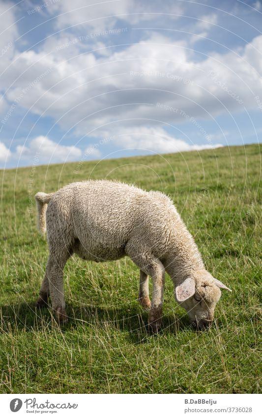 Das niedliche ostfriesische Deichlamm betreibt den ganzen Tag durch seine Beweidung Küstenschutz. Ostfriesland Tier Schaf Nordsee Gras Wiese Landschaft Himmel