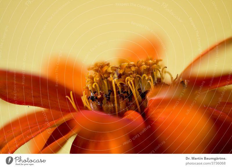 Zinnia-Hybride, oranger Stamm orangefarben Kulturvarietät Blume Auswahl Detailaufnahme Blütenkopf Verbundwerkstoffe Asteraceae