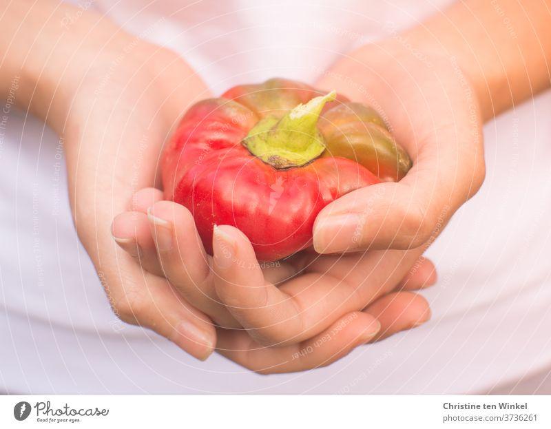Eine kleine rote Paprika aus dem Garten in den Händen einer jungen Frau Paprikaschoten Gemüse frisch roh halten zeigen Vegetarische Ernährung Lebensmittel reif