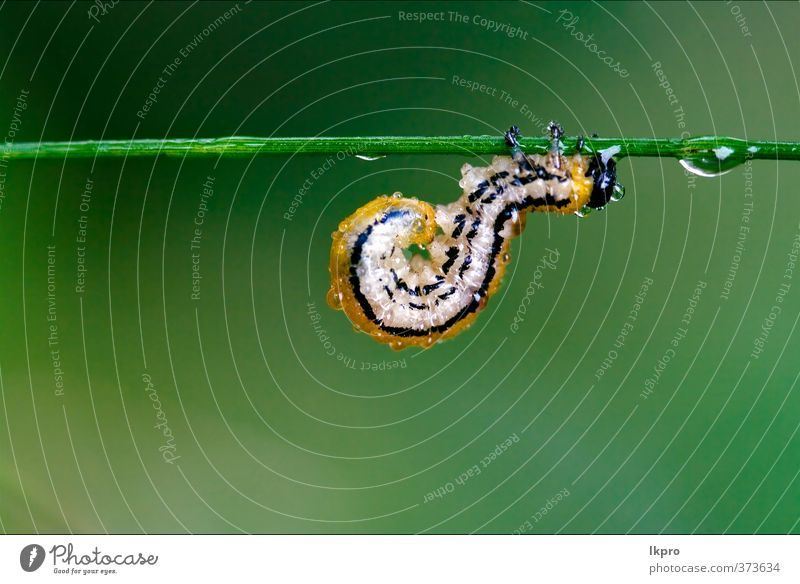 Raupe der Papilionidae im Kopfästemoor Sommer Garten Natur Pflanze Weiche Behaarung Tropfen wild blau braun gelb grau grün schwarz Farbe Ritterfalter Italien