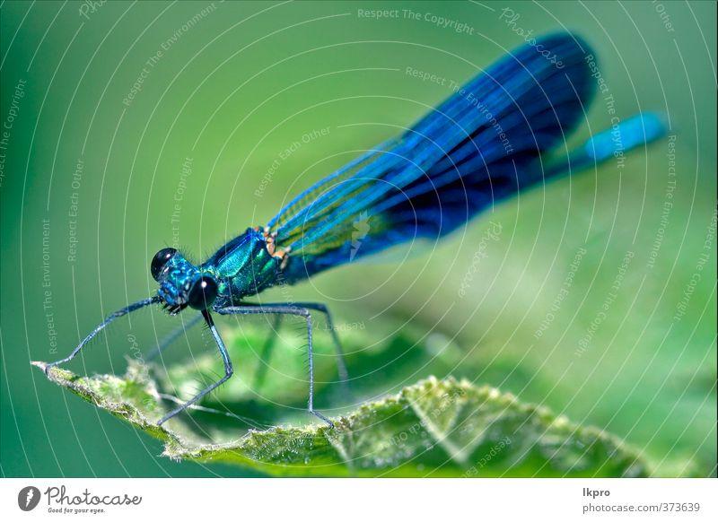 Vorderseite der wilden schwarzen blauen Libelle Koenagrion Pue Sommer Garten Natur Pflanze Blatt Weiche Pfote Linie Tropfen braun gelb grau grün weiß Farbe