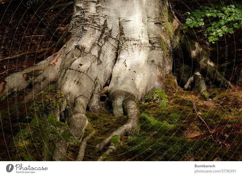 Wurzel einer großen Buche Moos Blätter Baum Laubbaum mächtig Natur Umwelt Blatt Wald Pflanze Außenaufnahme Buchenwald Baumstamm Farbfoto Landschaft Tag