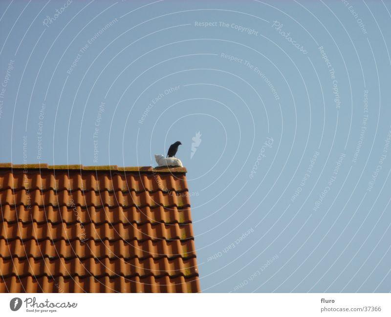 bird on cat on roof Amsel Dachgiebel Verkehr Steinkatze Tag