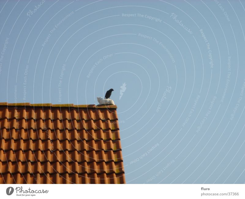 bird on cat on roof Verkehr Drossel Dachgiebel Amsel