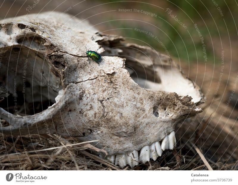 Ein grüner Käfer krabbelt auf einem Schafschädel herum Knochen Schädel Kopf Nutztier Insekt Blattschneidekäfer braun Tod Endlich Wandel Natur Pflanze Gras