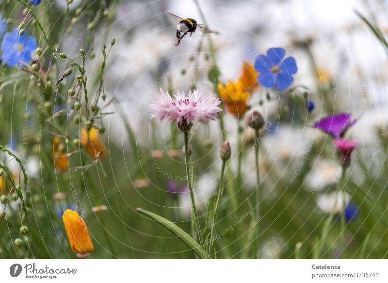 Von einem Blümchen zum nächsten, die Hummel auf der Blumenwiese Natur Flora Fauna Pflanze Wiesenblumen Kornblume Leinen FlachsMohn Kalifornischer Mohn Blüten