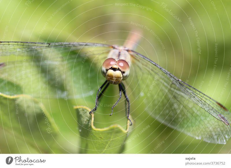 Libelle im Blick Insekt Makroaufnahme Tier Farbfoto Natur Außenaufnahme Tag Nahaufnahme Sommer sitzen Wildtier 1 Menschenleer Tierporträt Schwache Tiefenschärfe