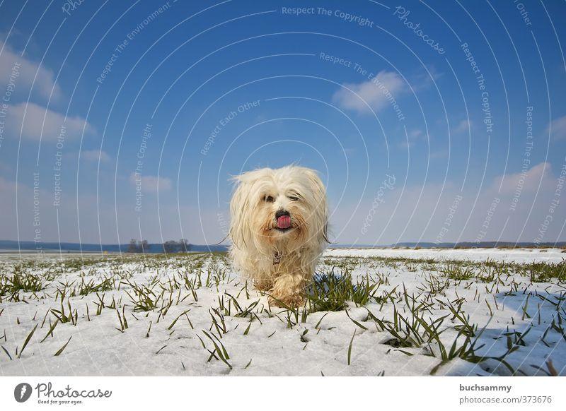 Hund in einer Winterlandschaft Landschaft Tier Himmel Wolken Schnee Feld langhaarig Haustier Fell 1 gehen frech nass blau grün weiß Tierliebe Freude