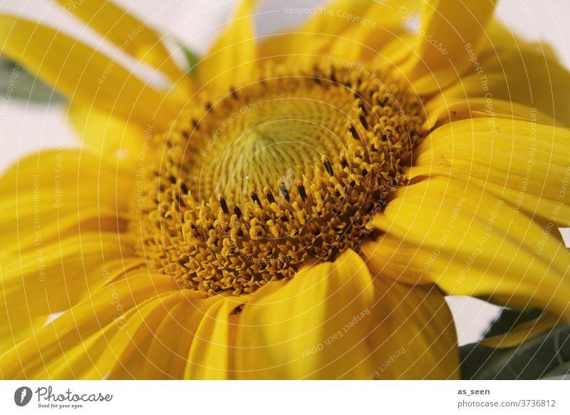 sunflower Sonnenblume gelb Herbst Sommer August September Natur Pflanze Blume Blüte Blütenblatt Blühend schön Farbfoto Garten Nahaufnahme Außenaufnahme Tag