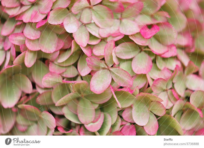Gartenhortensie Hortensie Hydrangea Gartenblume Blume blühend Hortensienblüte Gartenblumen Gartenpflanze Gartenpflanzen September Spätsommer grün rosa Pflanze