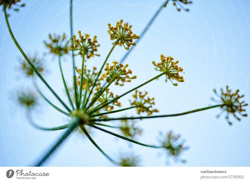 Bärenklau Doldenblütler Pflanze Blume Unkraut Landschaft Himmel Vergänglichkeit Sommer Doldenblüte Wachstum emporragend Blühend Blüte Außenaufnahme Farbfoto