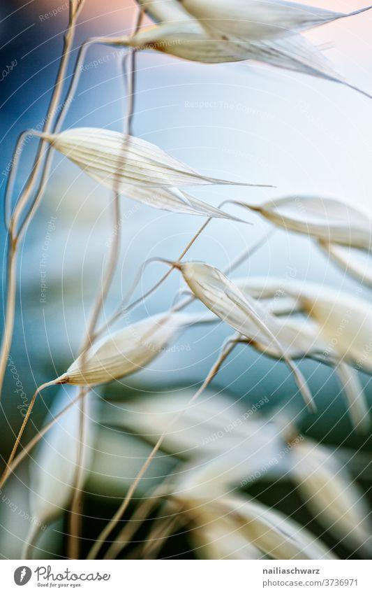 Hafer Haferähre Getreide Getreidefeld Schwache Tiefenschärfe Sonnenlicht Außenaufnahme Farbfoto harmonisch Wärme hängen Blühend Feld Wiese Nutzpflanze