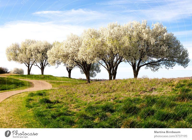 Wunderschön blühende Bradford-Birnenbäume im Frühling in Texas Bäume Baum Blume Natur Garten Saison Blütezeit Flora saisonbedingt Himmel grün Straße Landschaft
