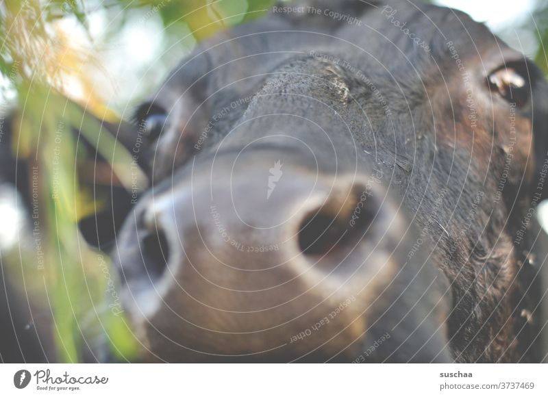 kuh, ganz nah .. Mund Rindvieh Neugier Blick Weide Landwirtschaft Tierporträt Nahaufnahme Nutztier Fell Auge Nase Schnauze Tiergesicht Kuhkopf Kuhherde feucht