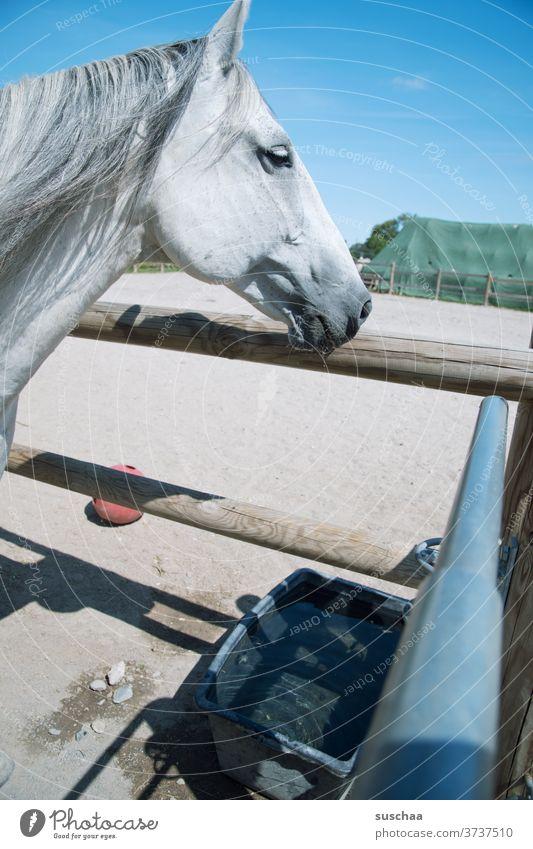 pferd hat gerade aus dem wassertrog getrunken Pferd Pferdekopf Schimmel Mähne Pferdemaul Nüstern Pferdekoppel Wasser trinken Durst Wassertrog Himmel
