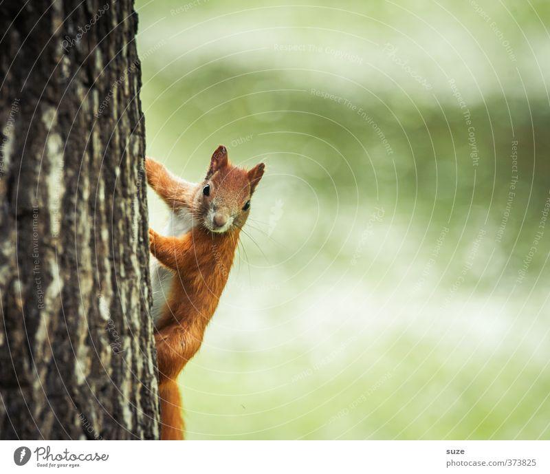 Ey hömma! Umwelt Natur Sommer Baum Park Wiese Tier Wildtier 1 klein Neugier niedlich grün rot Fell Tiergesicht Baumstamm Baumrinde Nagetiere Eichhörnchen