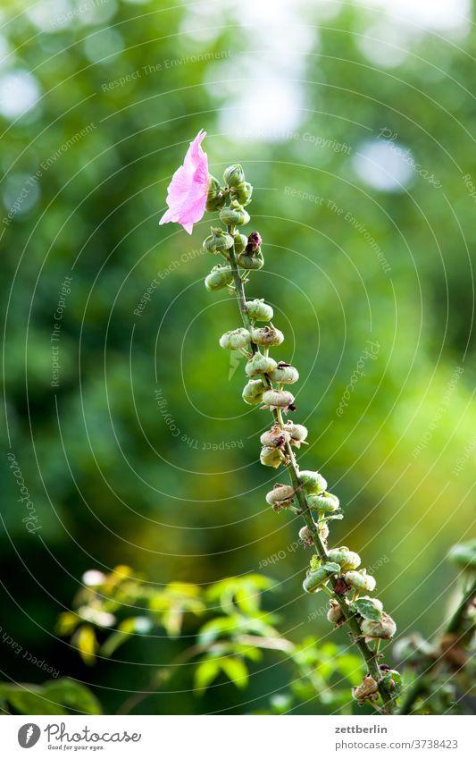Stockrose Alcea rosea blume blühen Garten-Stockrose blüte erholung ferien garten kleingarten Malvaceae kleingartenkolonie menschenleer natur pflanze ruhe